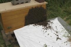 Einlaufen eines Bienenschwarms in die Bienenkiste / Sommer 2016 / Bäckerinnung