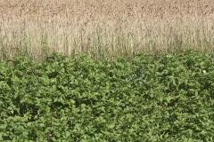 Kartoffeln und Dinkel (Oberkulmer Rotkorn) | Sommer 2016 / Neunerberg