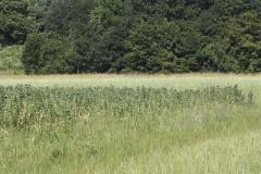 Leguminosenmischung (Ackerbohnen, Erbsen, Hafer) am Neunerberg | Sommer 2016