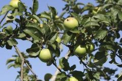 Apfelbaum am Neunerberg | Sommer 2016
