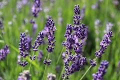 Lavendel | Sommer 2017