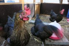 Die Hühner kennen die Kinder schon ...