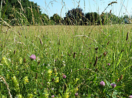 Blühende Wildblumenwiese am Neunerberg im ersten Jahr nach der Ansaat