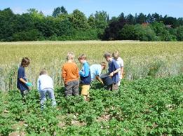 Keine Scheu zeigen die Kinder beim Sammeln von Kartoffelkäfern